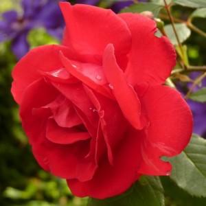 rose-7634 A