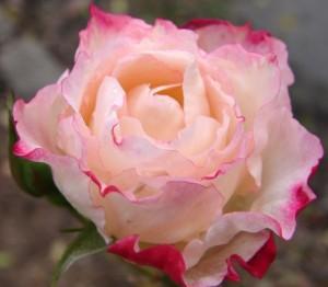 gudrun's rose