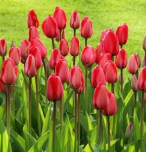 tulips-21620 A